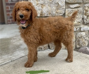 Poodle (Standard) Puppy for sale in CLAREMORE, OK, USA