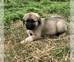 Small #2 Anatolian Shepherd