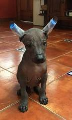 View Ad Xoloitzcuintli Mexican Hairless Puppy For Sale