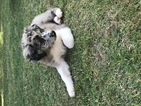 Australian Shepherd Puppy For Sale in CAT SPRING, Texas,