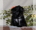 Small #2 Poodle (Toy)-Yorkiepoo Mix