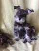 Schnauzer (Miniature) Puppy For Sale in AFTON, OK