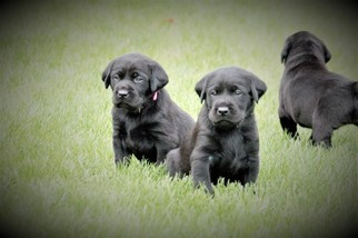 Labrador Retriever Puppy For Sale in PLATTSBURGH, NY