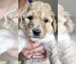 Puppy 6 Goldendoodle-Poodle (Standard) Mix