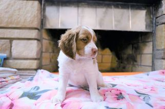 Brittany Puppy For Sale in POCONO SUMMIT, PA, USA