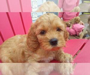 Cocker Spaniel-Poodle (Miniature) Mix Puppy for sale in HUDSON, MI, USA