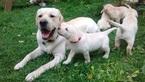 Labrador Retriever Puppy For Sale in MINOCQUA, WI, USA