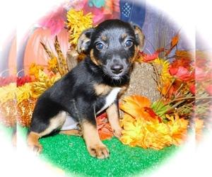American Rat Pinscher Puppy for sale in HAMMOND, IN, USA