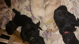 Labradoodle Puppy For Sale in SALISBURY, NC