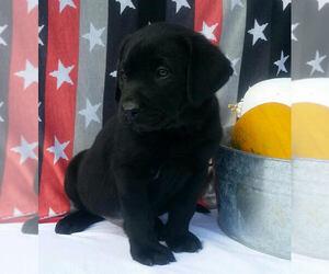 Labrador Retriever Puppy for sale in MILLERSBURG, OH, USA