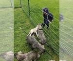 Small #4 Irish Wolfhound