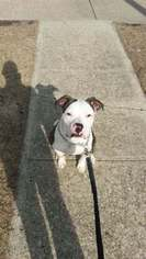 American Pit Bull Terrier Puppy For Sale in ANKENY, IA, USA