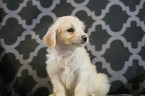 Miniature Labradoodle Puppy For Sale in KENSINGTON, OH, USA