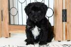 Morkie Puppy For Sale near 34104, Naples, FL, USA
