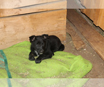 Puppy 5 Australian Cattle Dog-German Shepherd Dog Mix