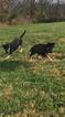 German Shepherd Dog Puppy For Sale in WALTON, KY, USA