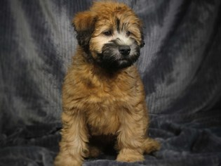Soft Coated Wheaten Terrier Puppy for sale in MONTCLAIR, CA, USA