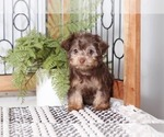 Small Yorkie-Poo