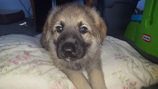 German Shepherd Dog Puppy For Sale in DEFORD, MI