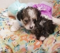 Biewer Yorkie Puppy For Sale in SARASOTA, FL, USA