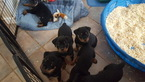 Rottweiler Puppy For Sale in WINDHAM, NH