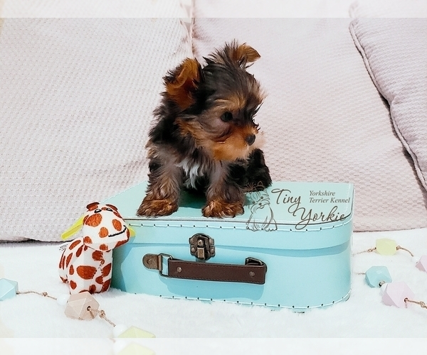 Medium Photo #1 Yorkshire Terrier Puppy For Sale in ORCHARDS, WA, USA