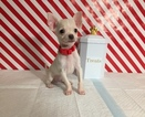 Chihuahua Puppy For Sale in AUSTIN, Texas,