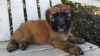 Small #6 Soft Coated Wheaten Terrier