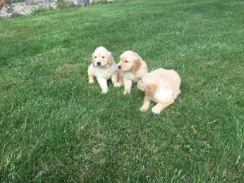 Golden Retriever Breeders In Ma View Ad: Golden Retrie...