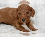 Puppy 4 Poodle (Miniature)