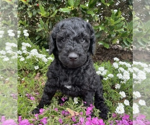 Goldendoodle Puppy for sale in CUMMING, GA, USA