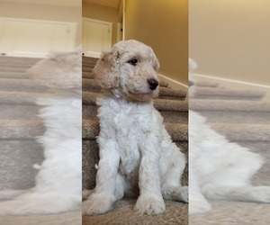 Labradoodle Puppy for Sale in BATON ROUGE, Louisiana USA