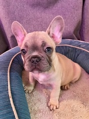 French Bulldog Puppy For Sale in SAN LEANDRO, CA