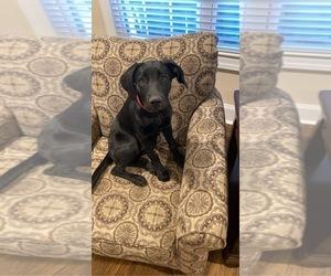 Labrador Retriever Puppy for sale in HUNTSVILLE, AL, USA