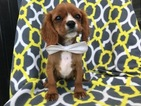 Cavalier King Charles Spaniel Puppy For Sale in EAST EARL, PA,