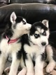 Siberian Husky Puppy For Sale in EAST WENATCHEE, WA, USA