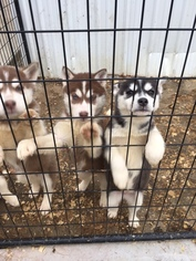 Siberian Husky Puppy For Sale in COLUMBIA CITY, IN