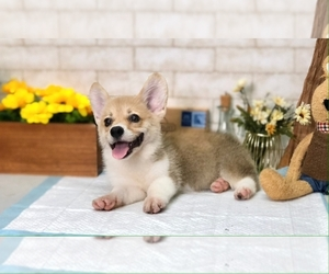 Pembroke Welsh Corgi Puppy for sale in MANHATTAN, NY, USA