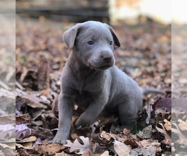 Medium Photo #1 Labrador Retriever Puppy For Sale in DRY RUN, PA, USA
