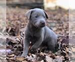 Small Photo #1 Labrador Retriever Puppy For Sale in DRY RUN, PA, USA