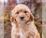 Small Goldendoodle-Poodle (Miniature) Mix