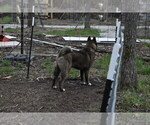 Small Photo #5 Akita Puppy For Sale in LICKING, MO, USA