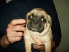 Puggle Puppy For Sale in WORCESTER, MA, USA
