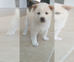 Shiba Inu Puppy for Sale in RIVERSIDE, California USA