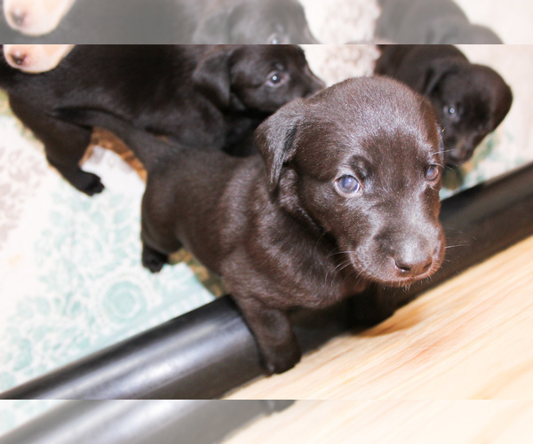 Medium Photo #2 Labrador Retriever Puppy For Sale in BOISE, ID, USA