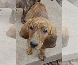 Plott Hound Puppy for sale in MIDVALE, UT, USA
