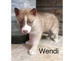 Small Photo #3 Siberian Husky Puppy For Sale in DEARBORN, MO, USA