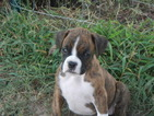 Puppy 8 Boxer