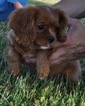 Cavalier King Charles Spaniel Puppy For Sale in ATWOOD, IL, USA