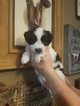 Border Collie Puppy For Sale in TUCSON, AZ, USA